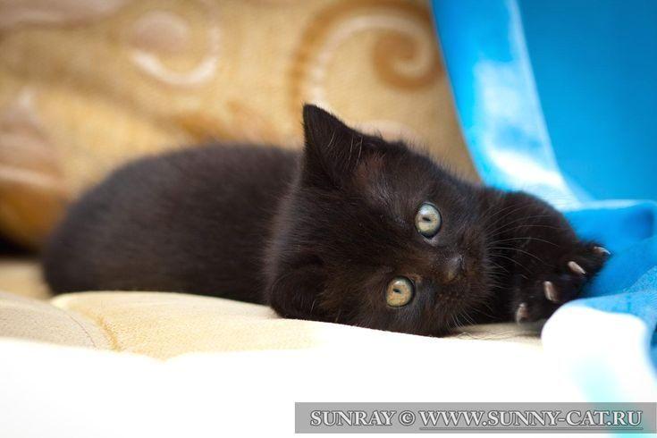 #cats  #cat  #kitten  #kittens  #kitty  #animal  #BritishCat  #BritishCats  #BritishShorthair  #BlackCat #british #shorthair The black british shorthair the male cat Sapfir SunRay ♂ The male cat | BRI n Breed: british shorthair Color: BRI n - black Birthday: May 1, 2013