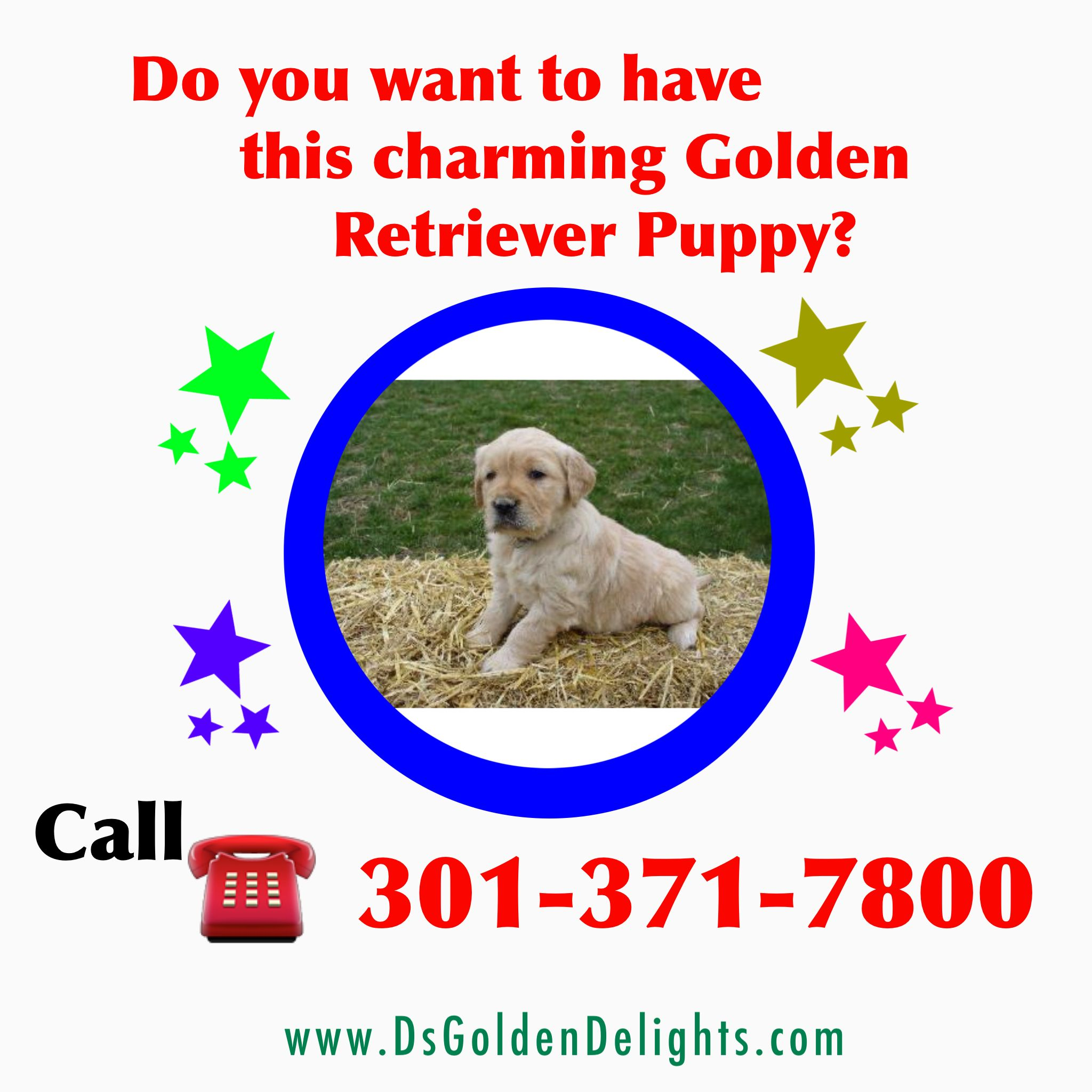 New York Golden Retriever Puppies Ds Golden Delights Golden