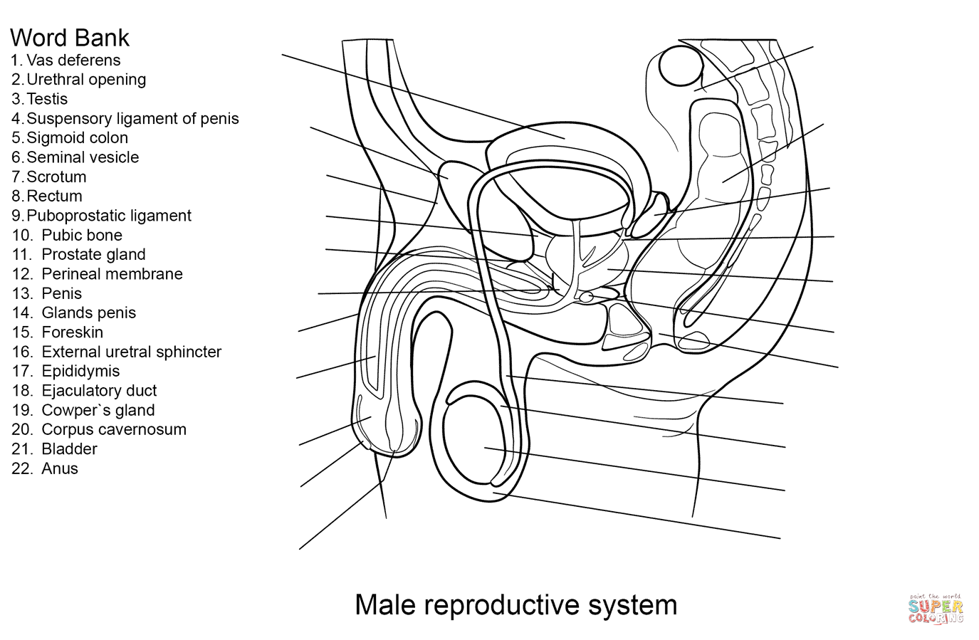 Male Reproductive System Diagram Unlabeled Front View