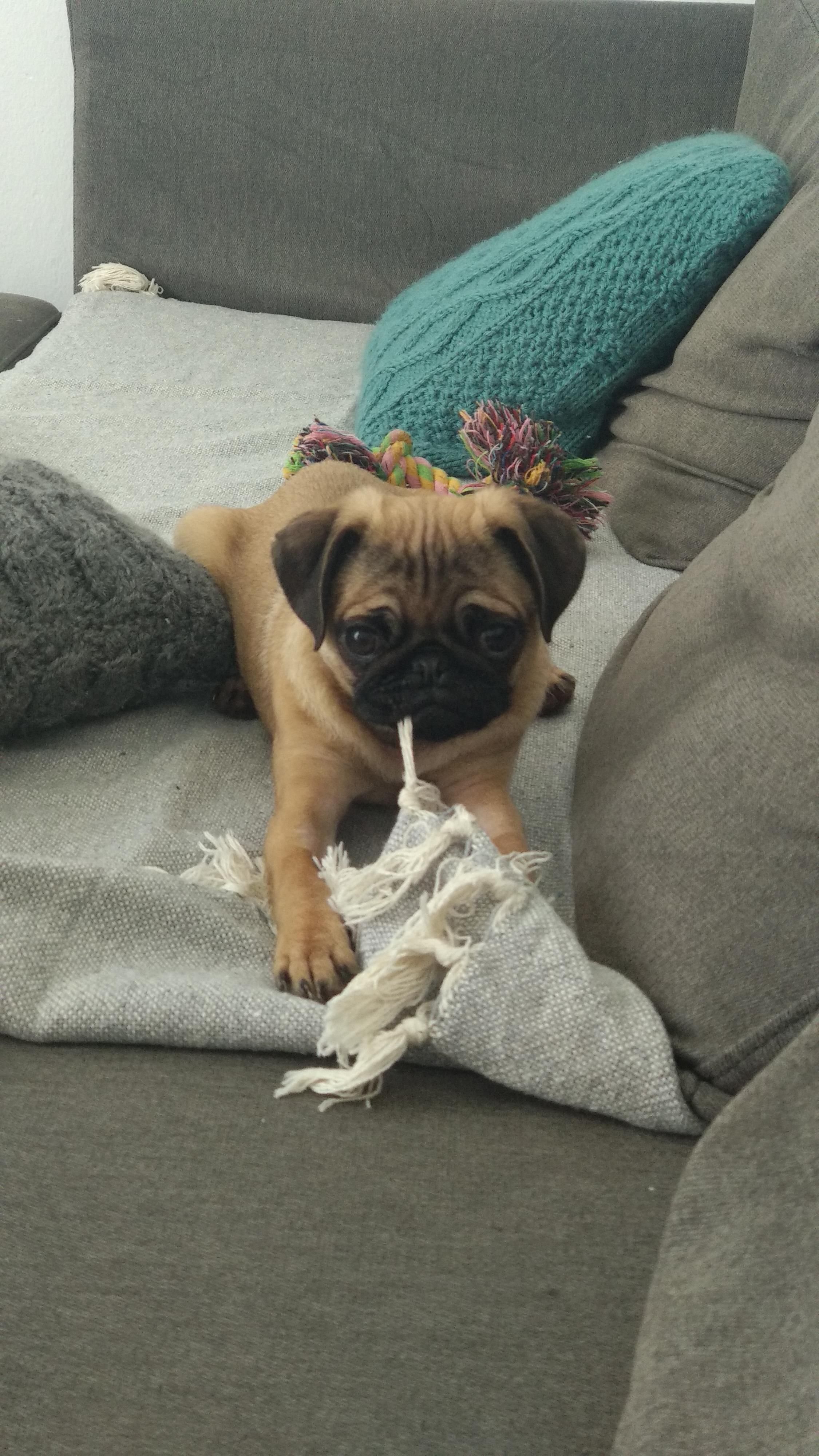 Reddit This Is My Pug Say Hello To Nara Dogs Kitty Lovecats