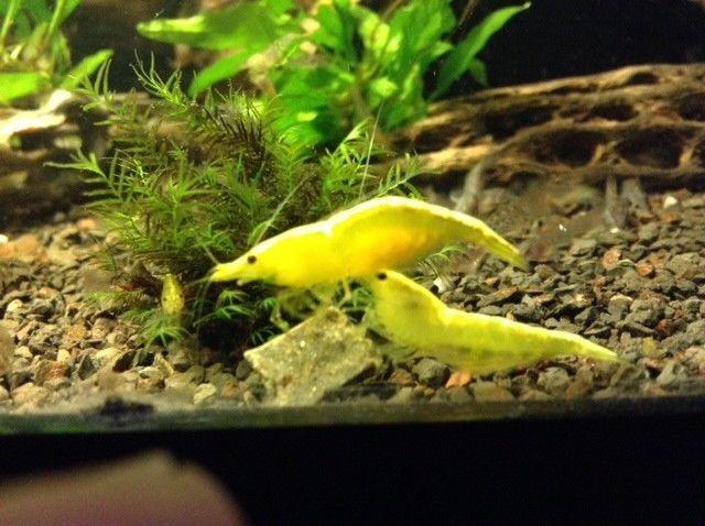 6 Live Yellow Shrimp Free Food Sample Freshwater Aquarium Algae Eater