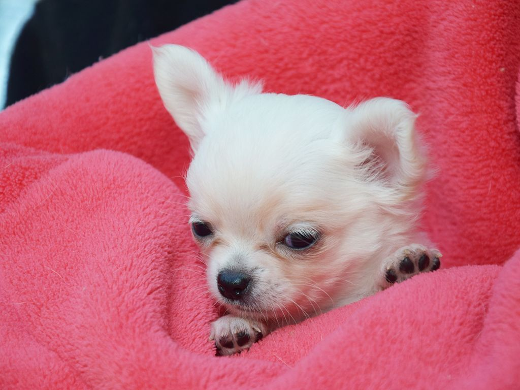 Dreamy Creamy Minnie Is The Most Marvellous Chihuahua I Have Ever