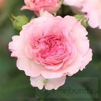 Roze Tantau Najzdrowsze Roze Ogrodowe Z Niemieckiej Szkolki Strona 2 Flowers Rose Plants