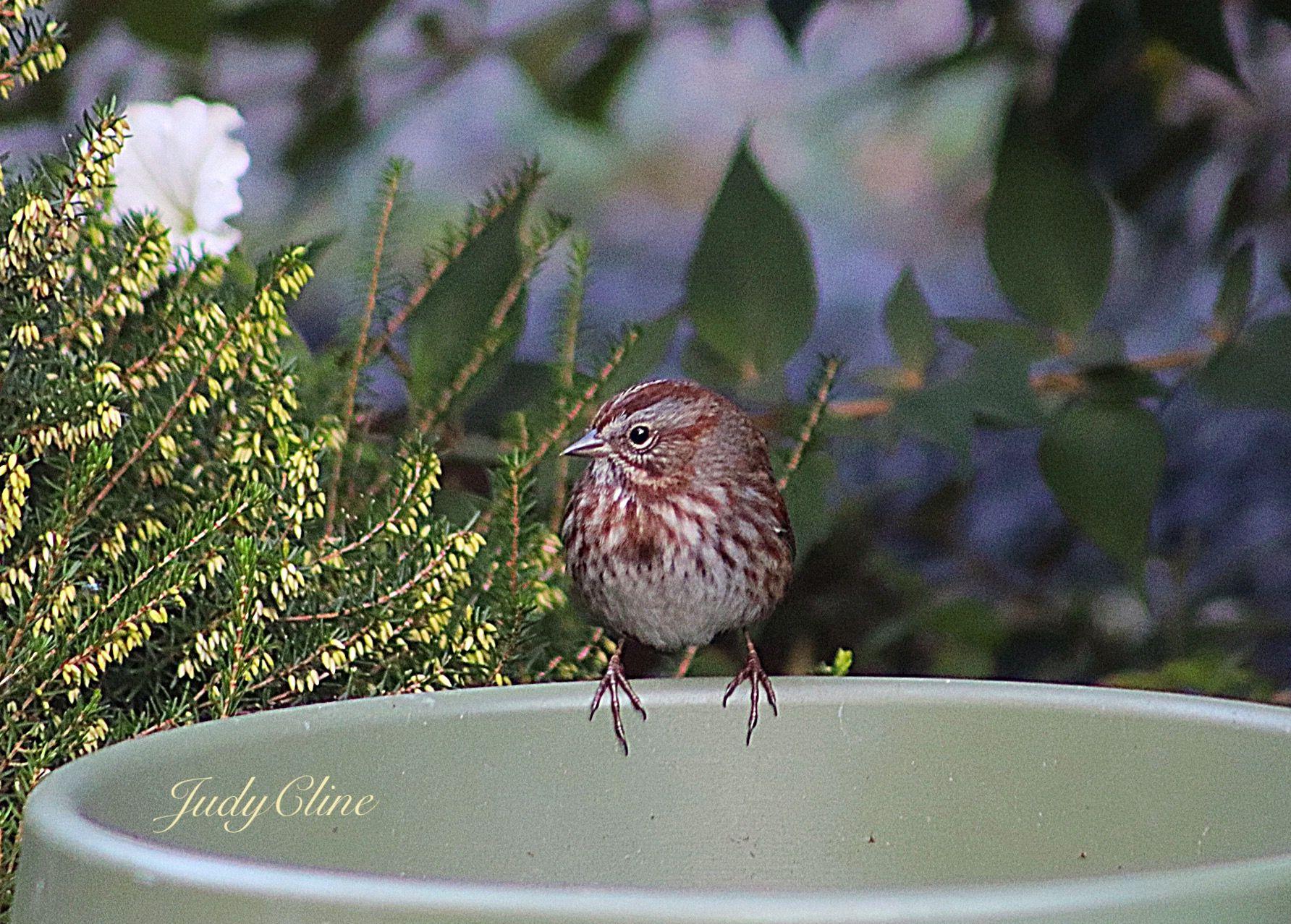 Song Sparrow Judycline Washington State