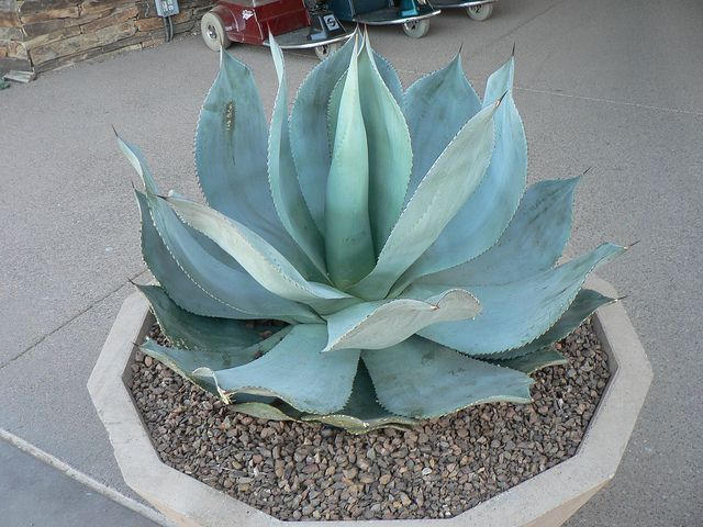 Succulent Agave Blue Flame Succulents Desert Botanical Garden Cactus And Succulents
