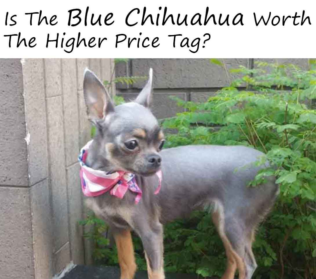 Is The Blue Chihuahua Worth The Higher Price Tag Chihuahua