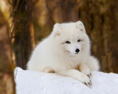 Песець | Животные, Песец, Самые милые животные