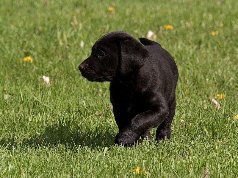 Baby black lab labrador retriever black lab dogs