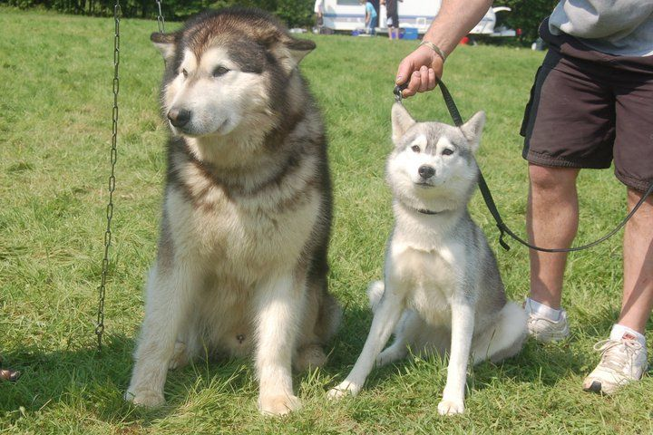 The Difference Between An Alaskan Malamute And A Siberian Husky