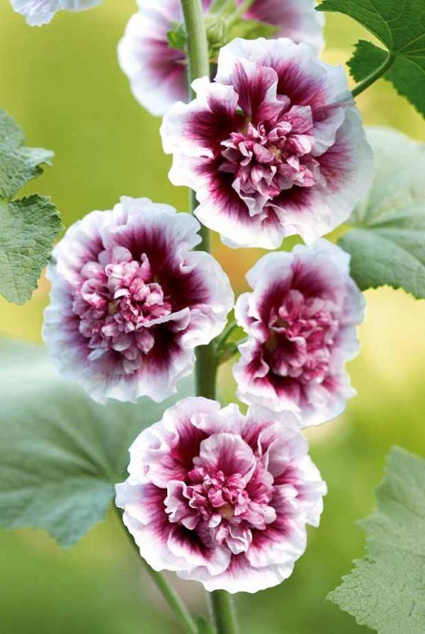 rose tr mi re 39 cr me de cassis 39 flowers gardens. Black Bedroom Furniture Sets. Home Design Ideas