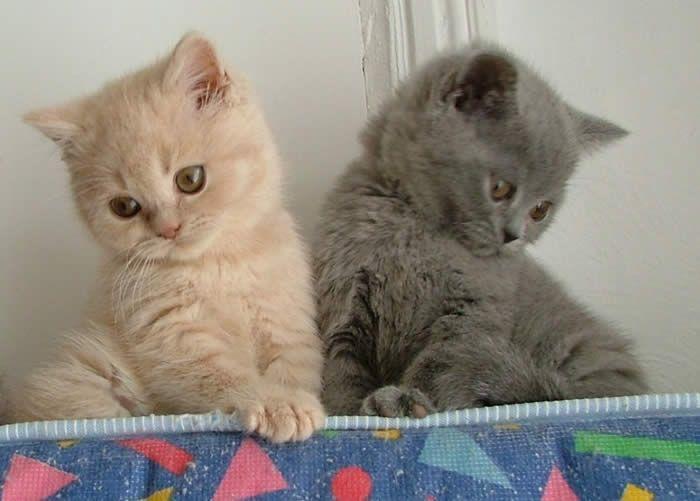 Lovely Cream British Shorthair Cat Http Ift Tt 2gccyxf British