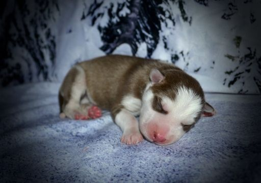 Siberian Husky Puppy For Sale In Grayson La Adn 43563 On