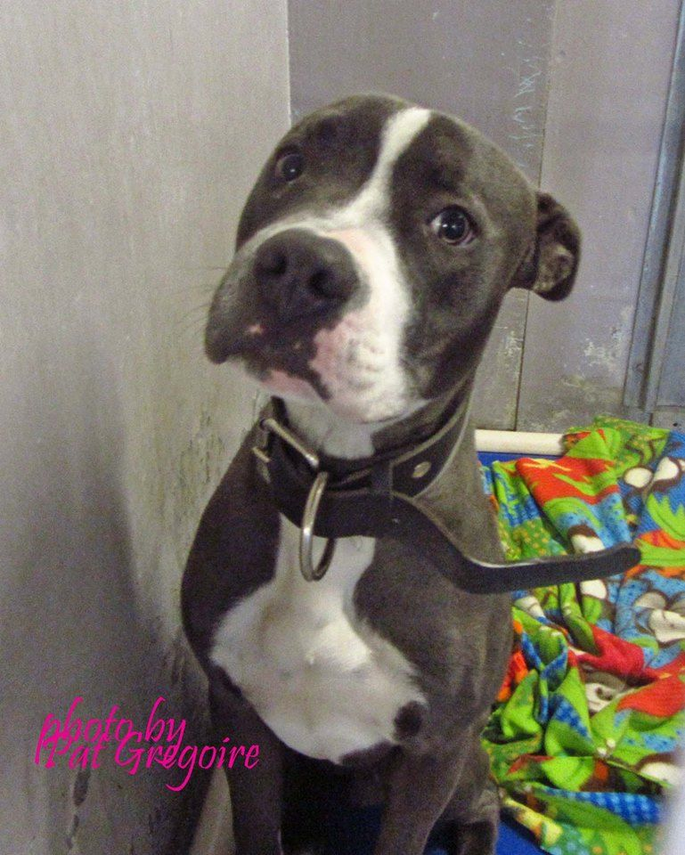 A4787502 I am a very friendly 1 yr old male blue/white pit bull mix. I came to the shelter as a stray on Dec 28. available 1/4/15 NOTE: Bully breeds are not kept as long as others so these dogs are always urgent!! Baldwin Park shelter https://www.facebook.com/photo.php?fbid=899376596740845&set=a.705235432821630&type=3&theater