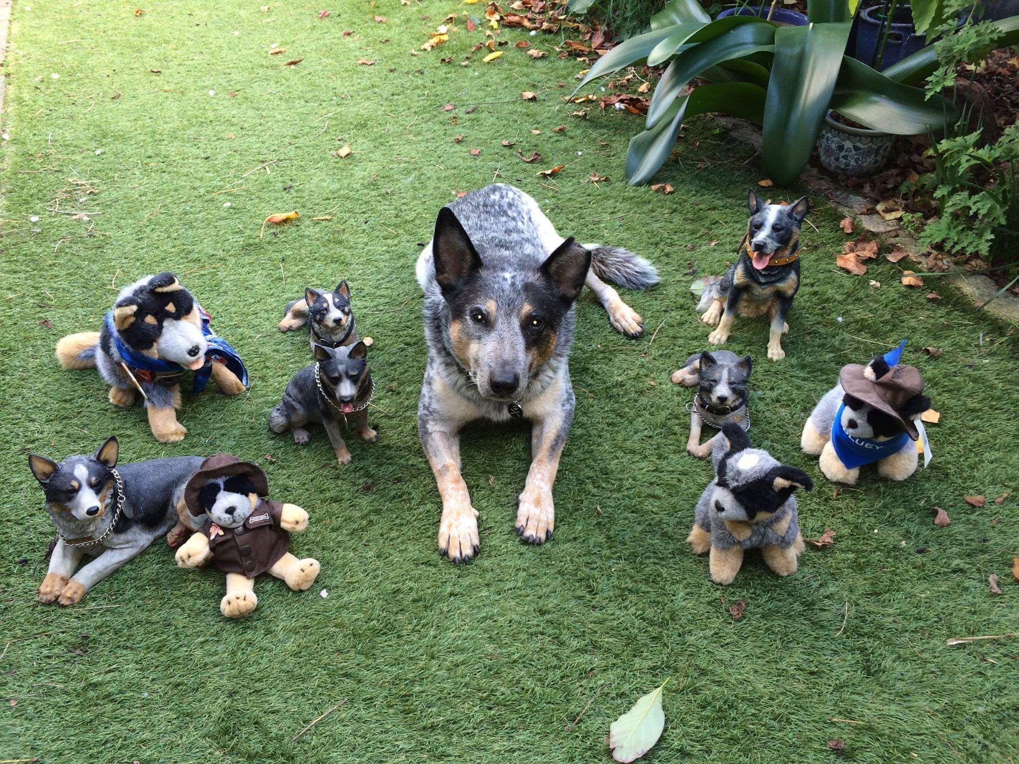 blue heeler puppies for sale craigslist