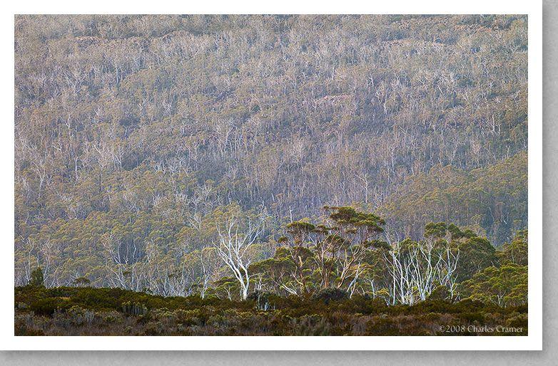 Gums Trees, Wombat Moor, Tasmania