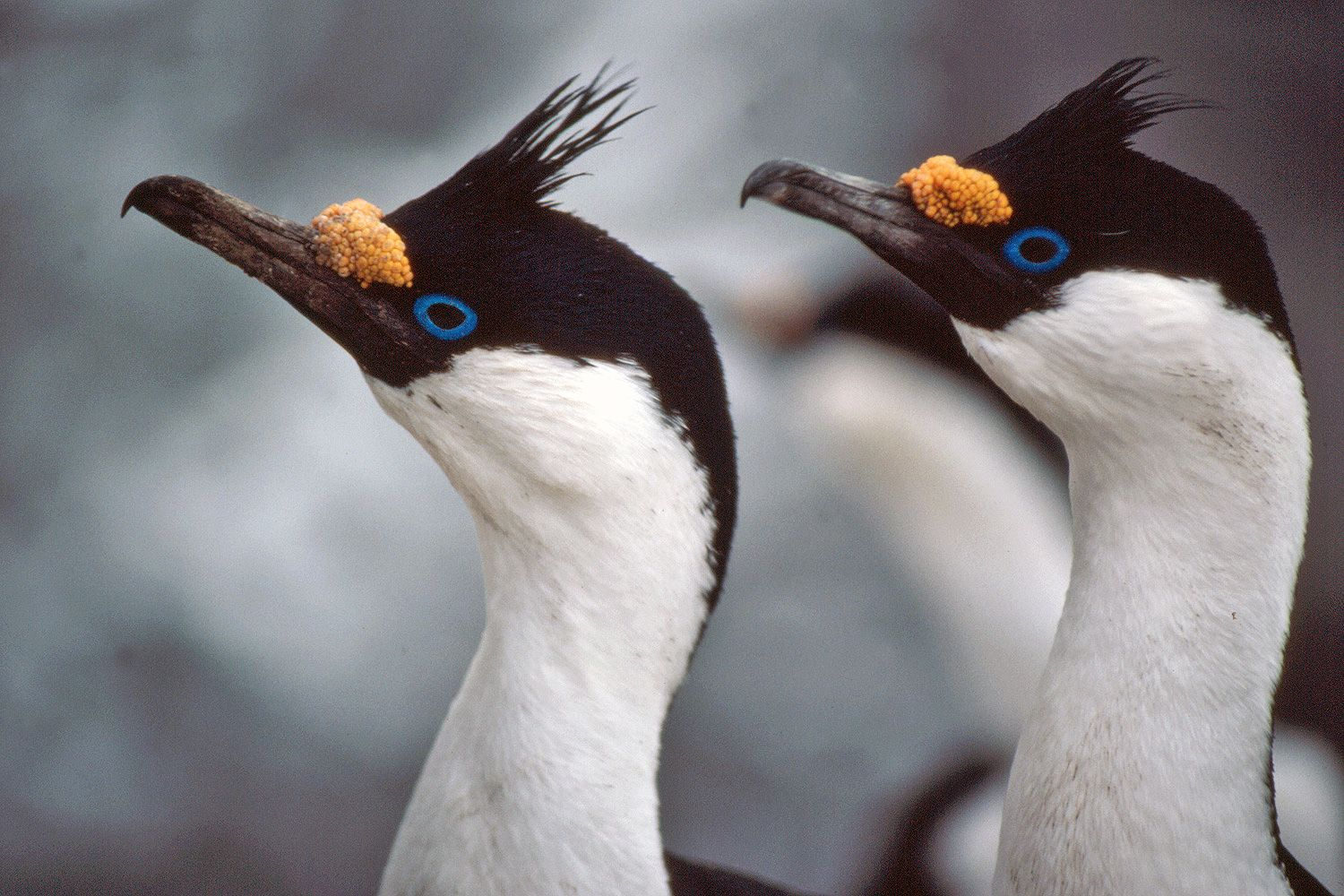 Imperial shag, Blue-eyed shag, Blue-eyed cormorant (Phalacrocorax ...