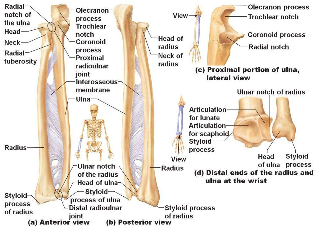Bone Anatomy of the under arm via http://www.medi-paper.com ...