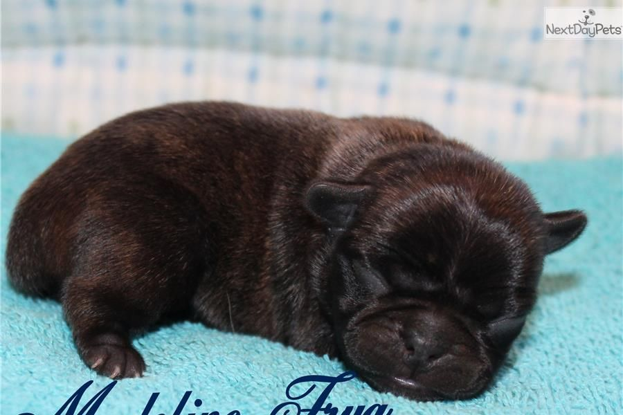 Meet Madeline A Cute Pug Puppy For Sale For 800 Frug Puppy Cute Pugs Cute Pug Puppies Cute Dog Pictures