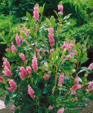 Summersweet summersweet clethra alnifolia 39 pink spire for No maintenance flowering shrubs