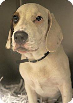Mastiff Beagle Mix Puppy For Adoption In Titusville Florida