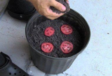 Resultado de imagem para grow tomatoes from slices