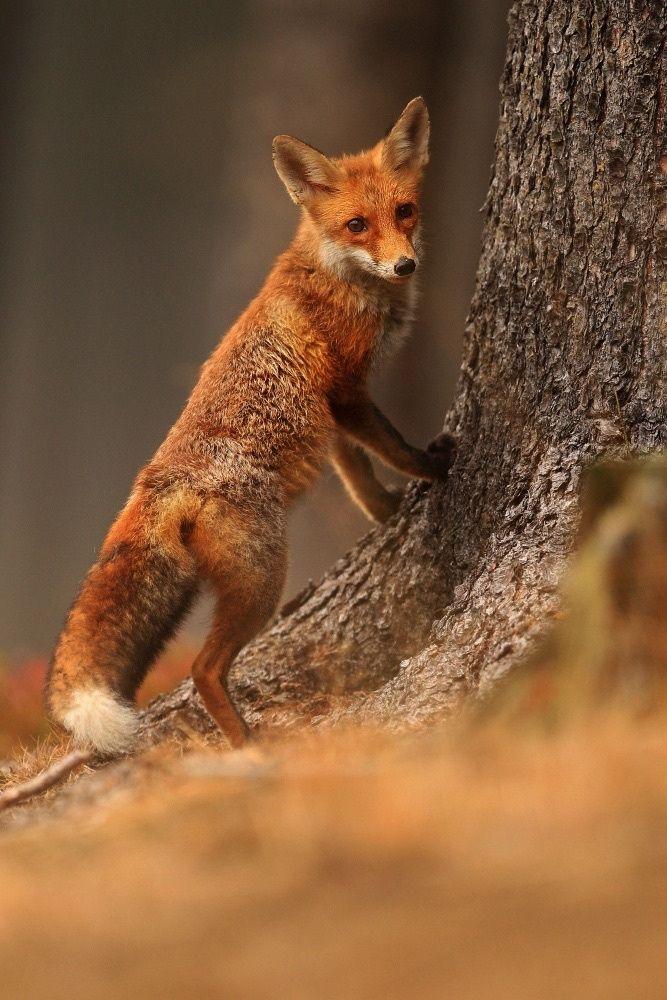 """beautiful-wildlife: """" Fox by Helena Kuchynková """""""