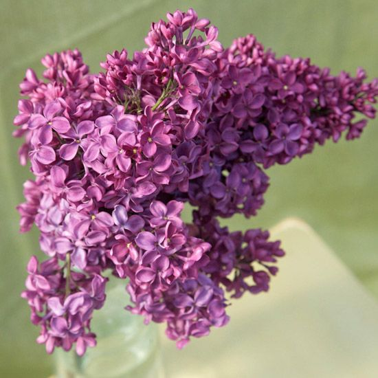 Top 10 Lilac Varieties To Fill Your Garden With Scent And Color Lilac Varieties Fragrant Flowers Lilac Bushes