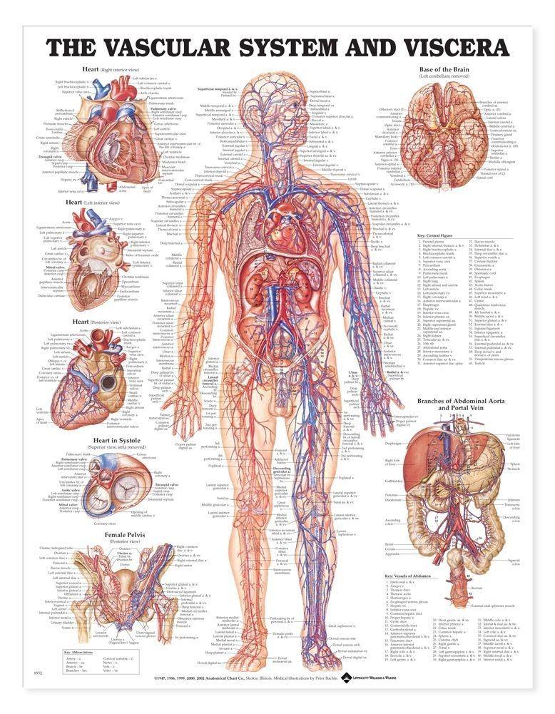 Bathroom Poster - Anatomy Chart Vascular System and Viscera | body ...