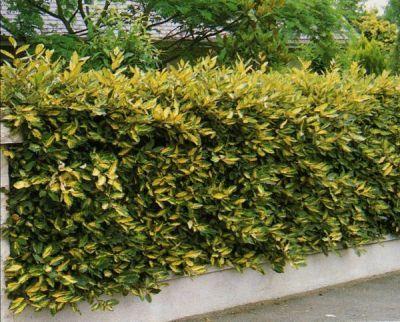 Viverolosliriospaisajismo Arbustos Para Cerco Vivo Especies - Arbustos-para-vallas