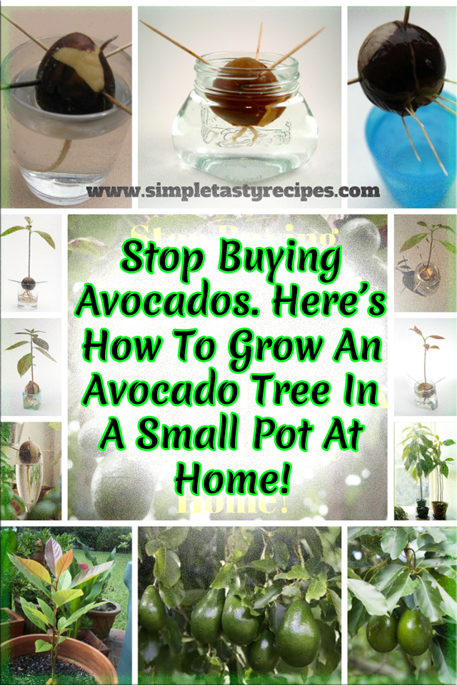 Stop Ing Avocados Here S How To Grow An Avocado Tree In A Small Pot At Home