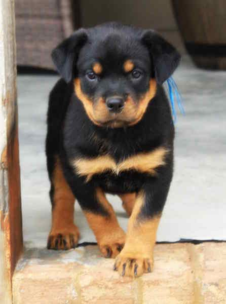 Rottweiler Puppy For Sale In Fair Play Sc Adn 22428 On