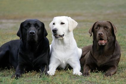 Labrador Retriever Dog And Puppy For Sale In Hyderabad With Low