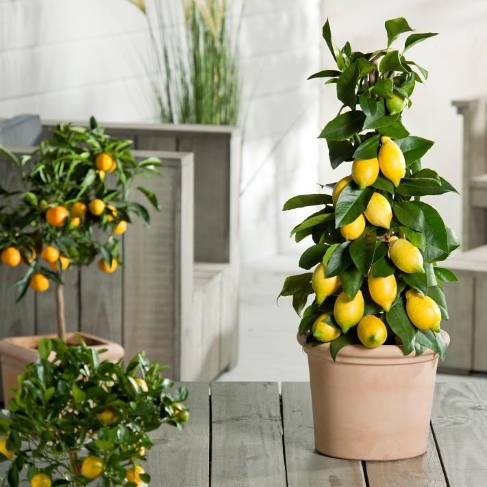 zitruspflanzen pflanzen pinterest pflanzen g rten und daumen. Black Bedroom Furniture Sets. Home Design Ideas