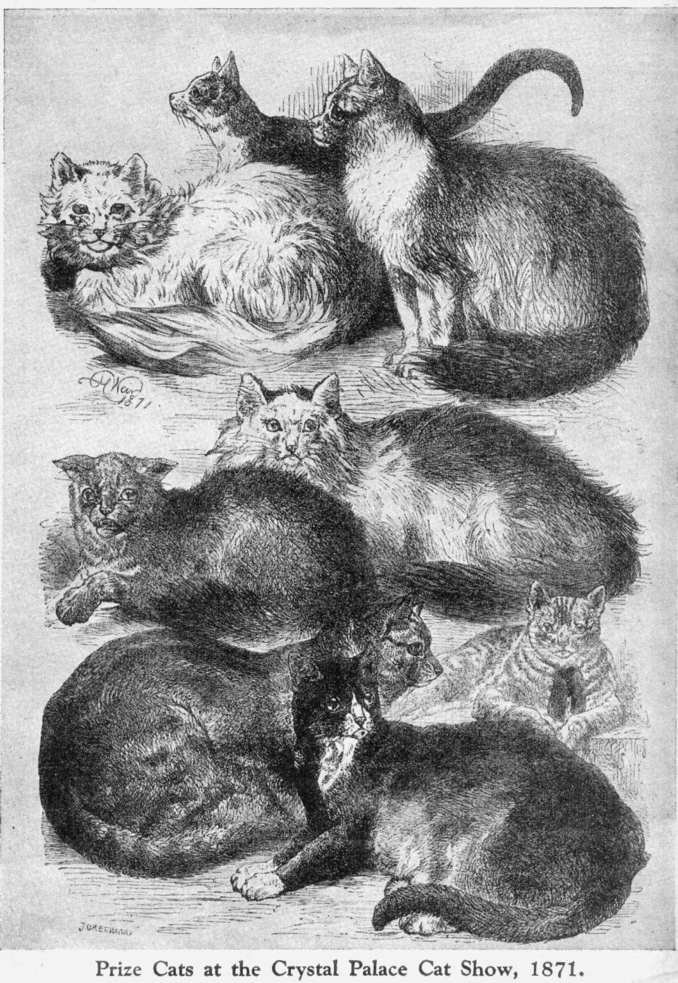 A History of Cat Shows in Britain Cats, Cat art, Vintage cat