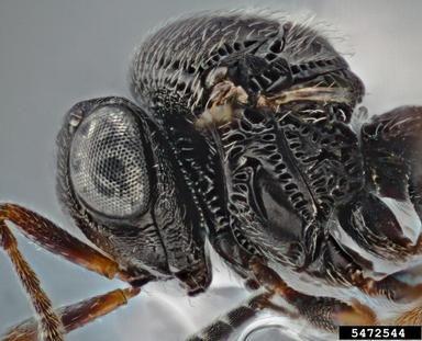 Trissolcus plautiae
