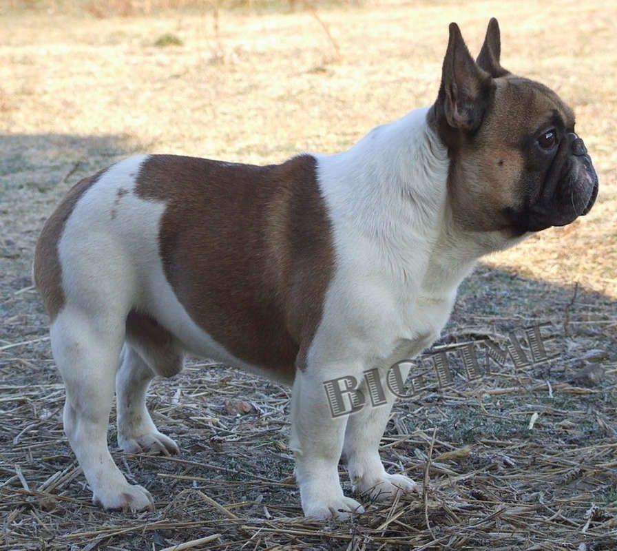 Akc French Bulldog Puppies French Bulldog French Bulldog For Sale French Bulldog Puppies