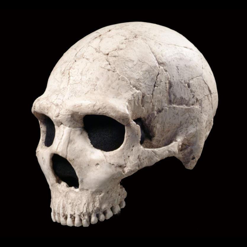 Amud image of amud, skull, 3/4 view | reference photos | pinterest