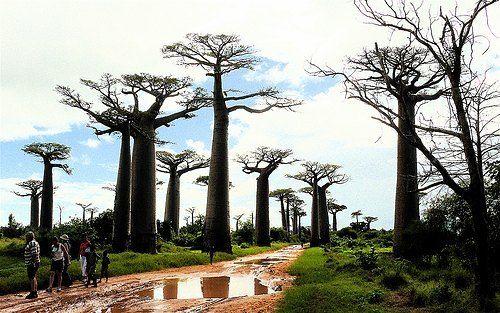 La avenida de los baobabs Madagascar.