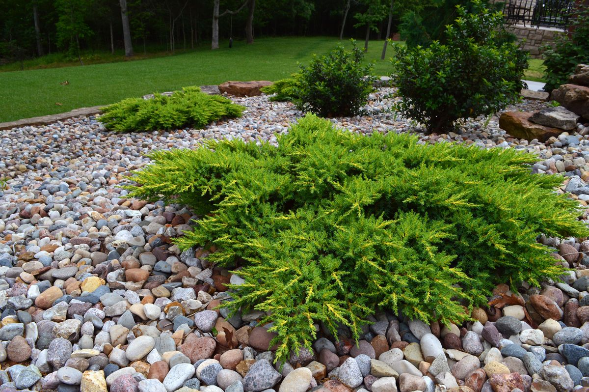 calgary carpet juniper - google search | plantings for backyard