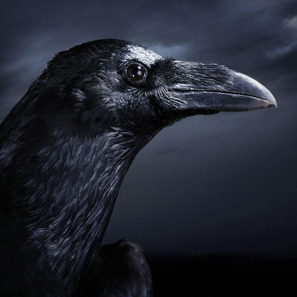 Pin by Chance Leone on Wallpapers Crow, Black bird, Bird