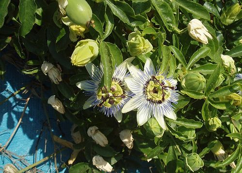 Erin S Kitchen Going Local Passion Flower Fruit Passion Flower Blue Passion Flower Flowers