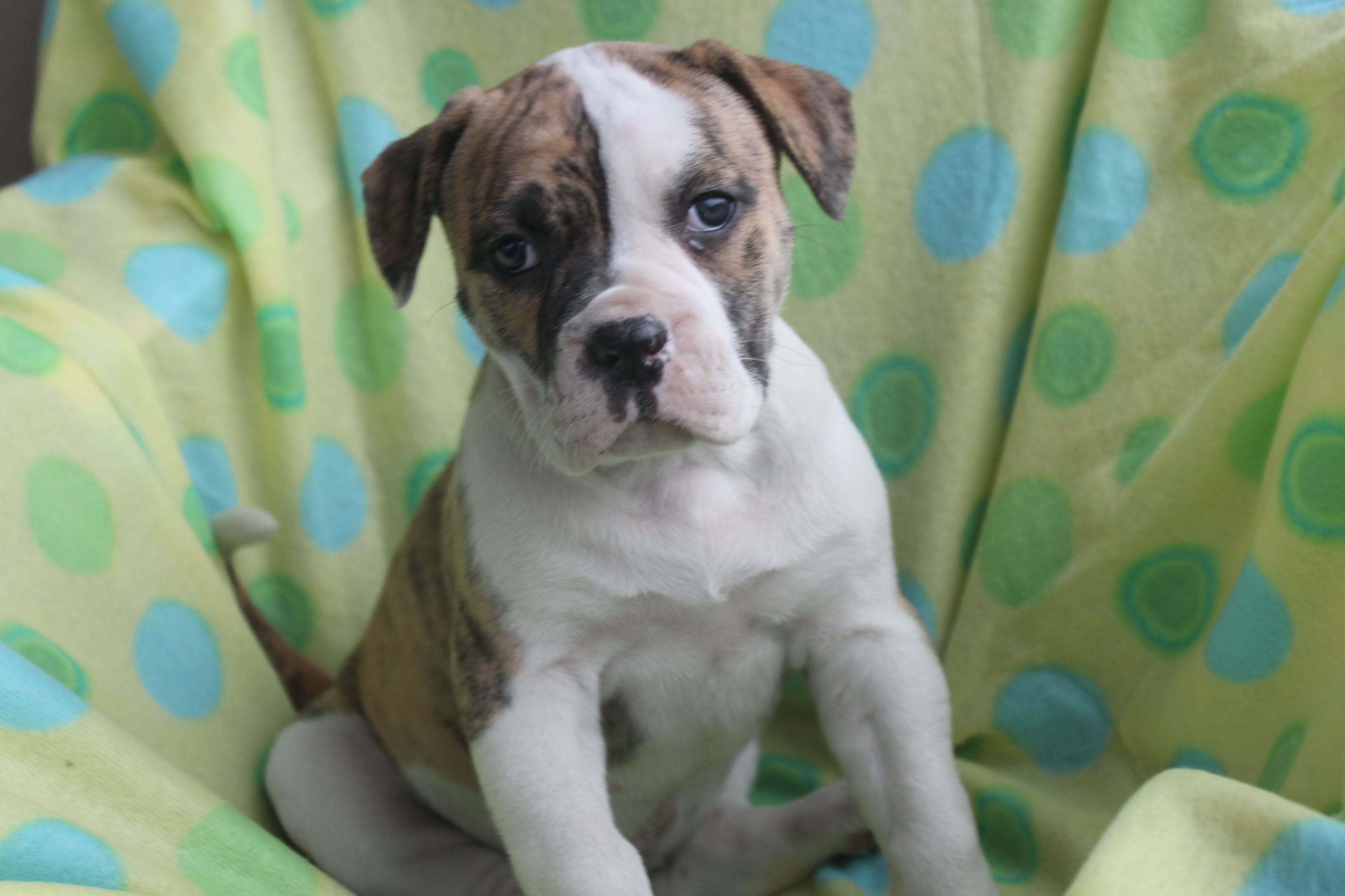 American Bulldog Puppy Here Is A 7 Week Old American Bulldog Puppy At Http Www Cutepuppi American Bulldog Puppies American Bulldog For Sale Bulldog Puppies