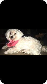 Maltese Dog For Adoption In Baton Rouge Louisiana Arabella