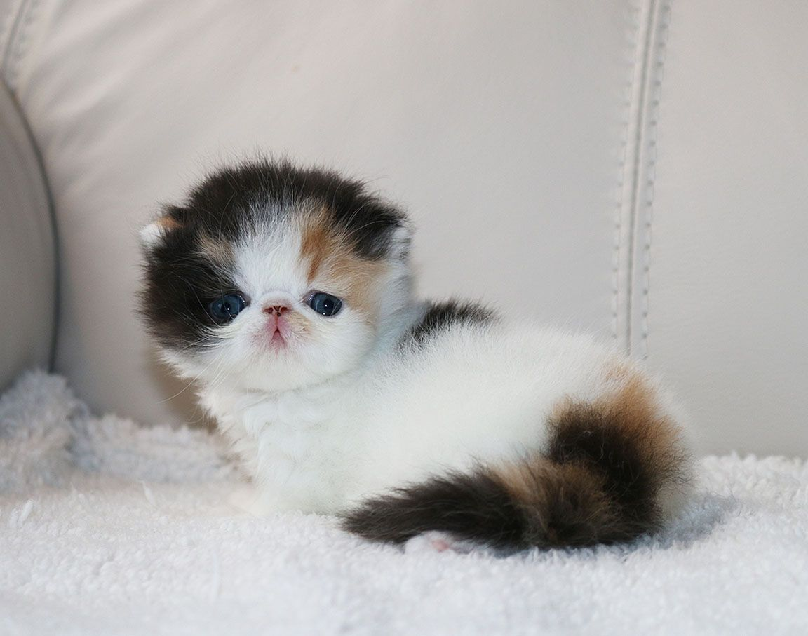 Persian Kittens For Sale In Ohio Cheap