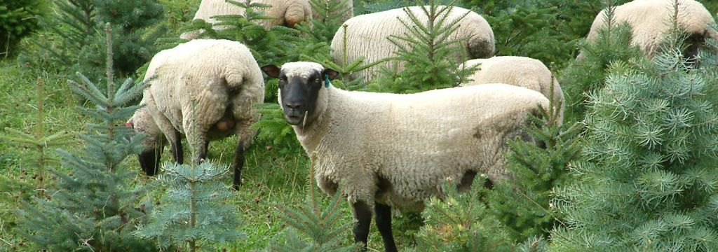 Shropshires are one of the few breeds that will keep grass down in an orchard or xmas tree farm without too much damage to young trees...