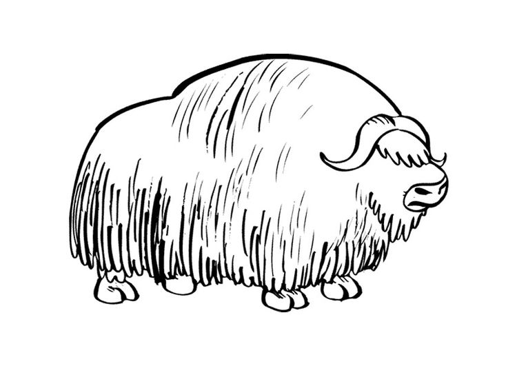 Coloring Page Musk Ox With Images Musk Ox Coloring Pages