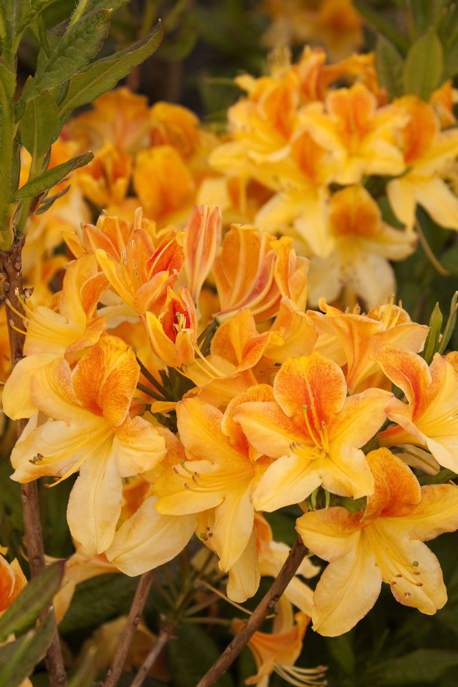 Golden Flare Azalea Is An Extremely Hardy Selection That Produces A Massive Display Of Vivid Yellow Single Blooms With A Red Plants Azaleas Landscaping Azaleas