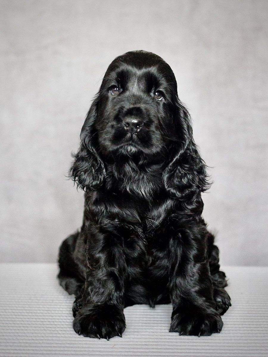 Pin By Lou Williams On All Types Of Spaniels In 2020 Black Cocker Spaniel Puppies Cocker Spaniel Puppies Spaniel Puppies
