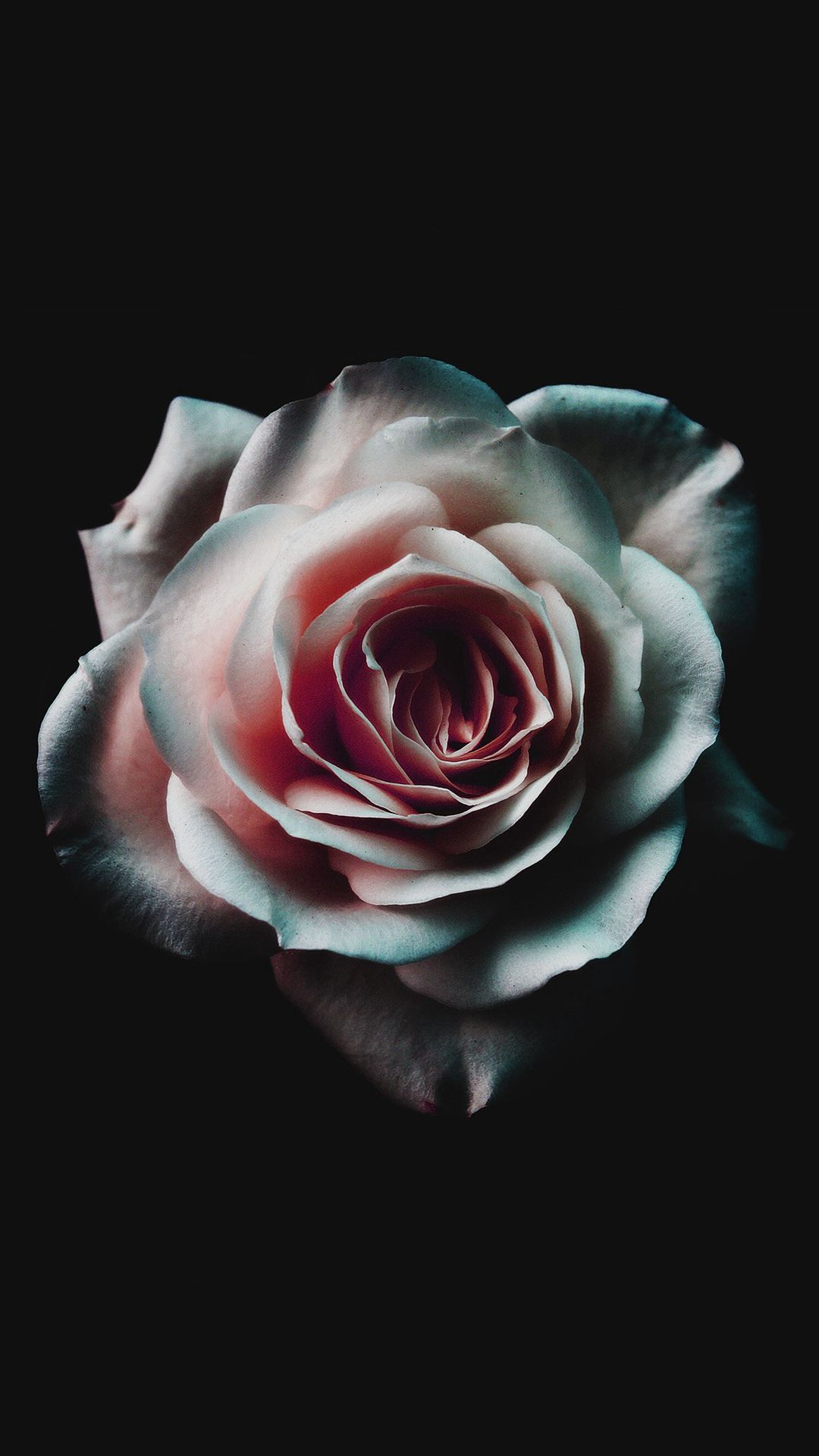 Flower White Dark Red Green Minimal Nature Iphone 6 Wallpaper Rose Wallpaper Flower Wallpaper Iphone Wallpaper Vintage