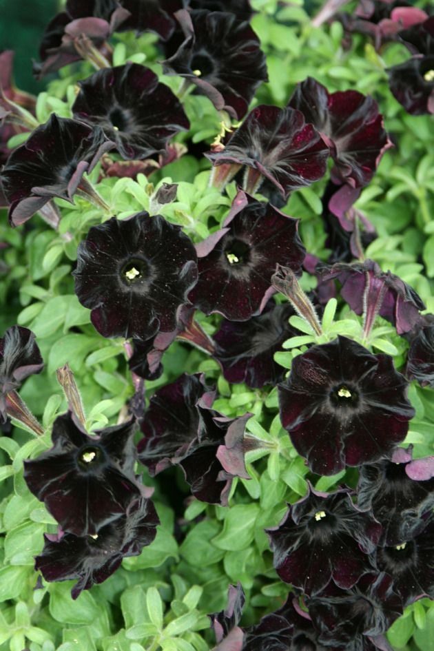 Black Magic Black Petunias Petunias Black Garden